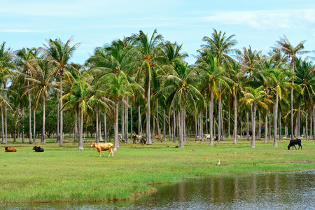 coconut palm tree plantation in Thailand
