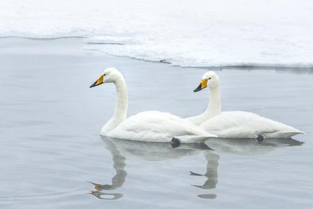 whiteness: swan