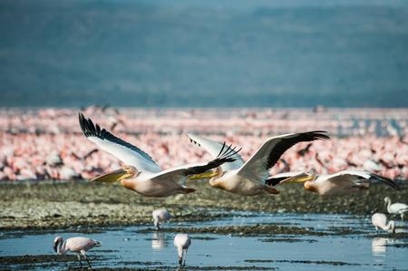 White pelicans at Lake Nakuru Kenya Eastern Africa photo