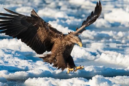 sea eagle: Stellers sea eagle   in Japan