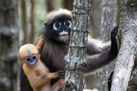 obscura: Presbytis obscura reid in the  wild,Thailand
