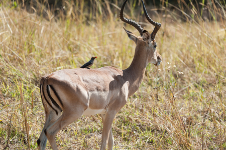 chobe national park: Impala in Chobe National Park, Botswana Stock Photo