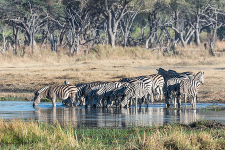 pozo de agua: wild zebra  at the waterhole,Botswana Foto de archivo