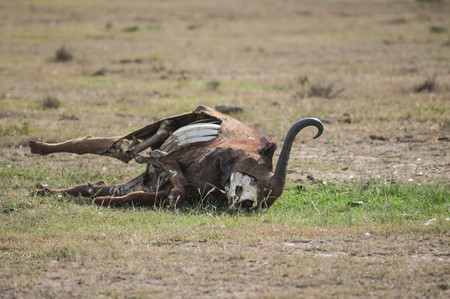 karkas: buffalo carcass  in Kenya
