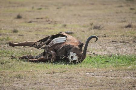 buffalo carcass  in Kenya