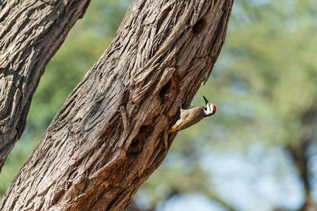 Bearded woodpecker sitting on a branch looking for insect