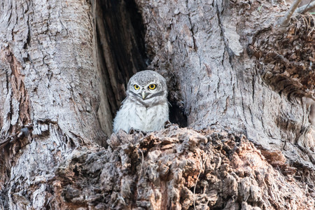 Little Owl in a hollow tree Stock Photo