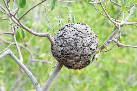 Wasp nest hanging in a tree Banque d'images