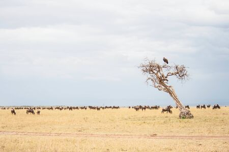 Wildebeest antelope in the savannah Masai Mara, Kenya