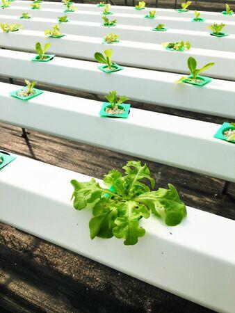 hydroponic: Hydroponic plants in farm Stock Photo