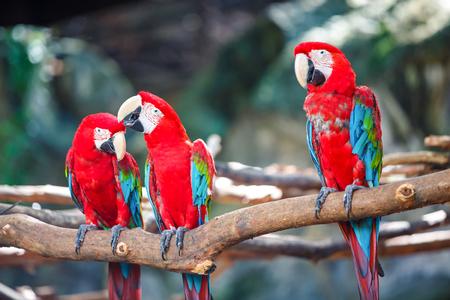 macaws stand on log