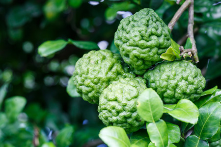 bergamot fruit or Kaffir lime hanging on tree Standard-Bild