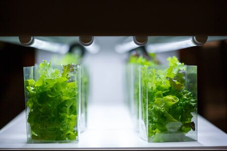 Green oak lettuce aquatic plants in a tissue culture room Stockfoto
