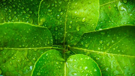 nature image: water drop on Kaffir lime leaf background abstract of nature