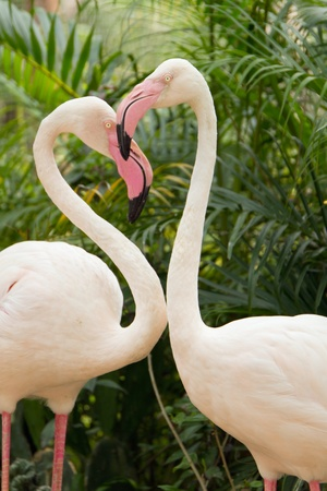 Two pink flamingos making the shape of a heart photo