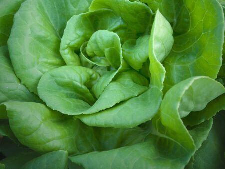 butter head: Green Butter head Organic vegetables