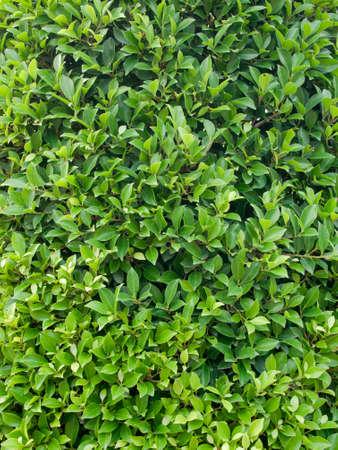 Full green leaves wallpaper background photo