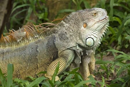 molting: Side of Iguana is molting Stock Photo