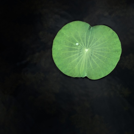 Water drops on green lotus leaf photo
