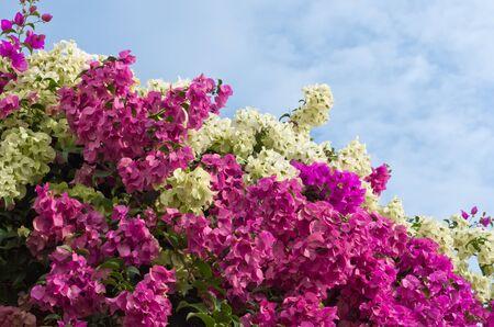 bougainvillea: Bougainvillea bushes and the sky in Bright day Stock Photo