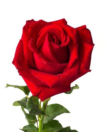 hart bloem: Hart vorm rode roos op een witte achtergrond Stockfoto