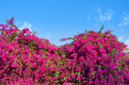 bougainvillea: Purple Bougainvillea bushes and the sky in Bright day