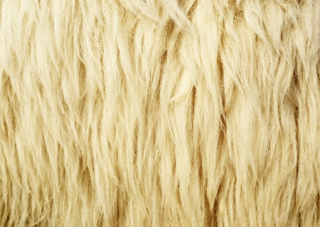 Texture of Wool or Sheepskin for Background photo