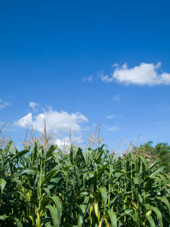 Corn tree green leaf and the bright sky photo