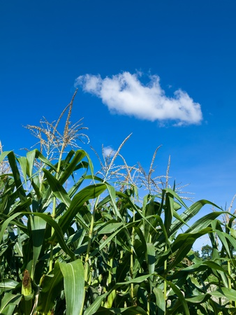 Corn of the cob is growing under Whit cloud and blue sky Stock Photo - 15904355