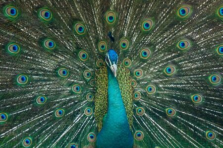 Peacock is showing beautiful feathers in back photo
