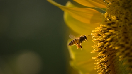 blossom honey: Bee flying towards sunflower to collect nectar from pollen Stock Photo