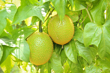 southeast asia: Gac fruit (Momordica cochinchinensis) is cultivated throughout Southeast Asia