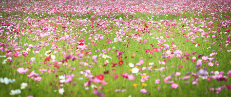 Colorful cosmos flowers photo