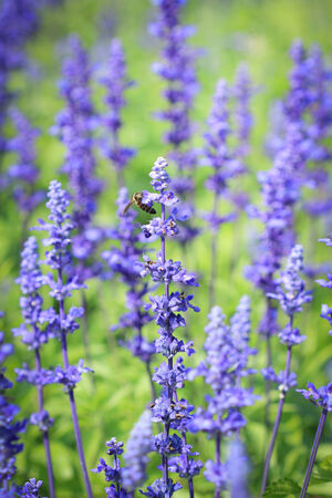 lavender coloured: Lavenders flower Stock Photo