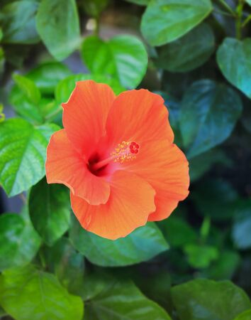 Close Up Of A Flower Hibiscus rosa-sinensis  The Beautiful Of   Nature Banque d'images