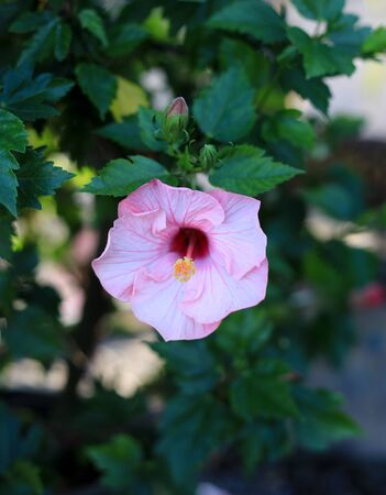 Close Up Of A Flower Hibiscus rosa-sinensis  The Beautiful Of   Nature Stockfoto