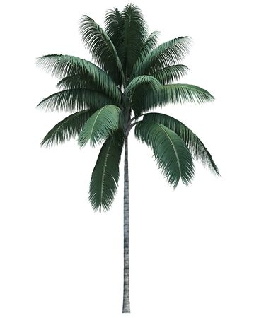 Nature object coconut tree isolated on white background