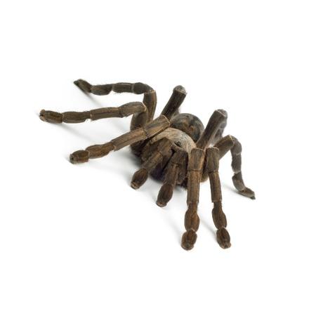 is poisonous: Tarantula spider Stock Photo
