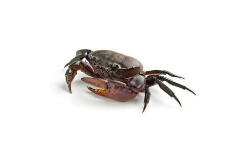 crustacea: Freshwater crabs