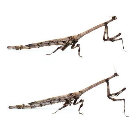 animal limb: Brown Mantis