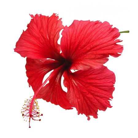 Hibiscus isolated on a white photo