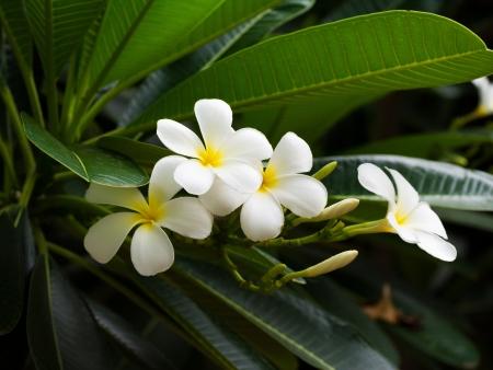 Flor do Frangipani - Plumeria Banco de Imagens