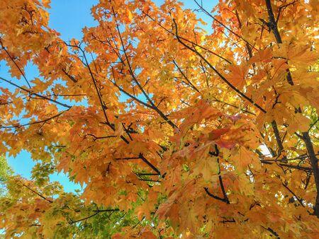 north yorkshire: Maple tree in autumn,North Yorkshire, UK Stock Photo