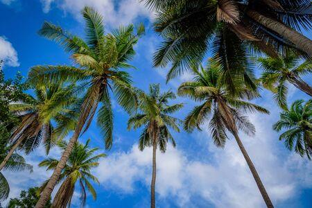 coco: Árbol de coco plam en el fondo de cielo azul Foto de archivo