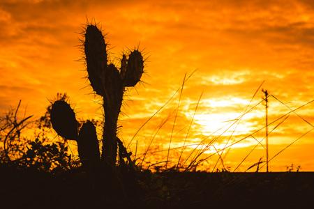 saguaro cactus: Silhouette of Saguaro Cactus at Sunset