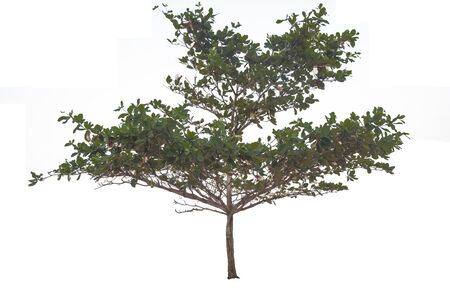 tree trimming: Green tree trimming isolate on white background. Clipping path included. Stock Photo