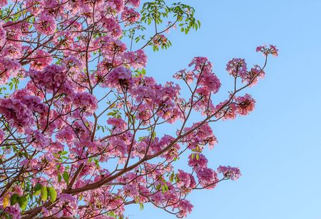 bright sky: Tebebuia Flower (Pink trumpet) blooming, Tabebuia rosea with blue sky Stock Photo