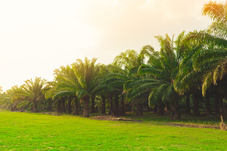 Palm oil plantation at sunset in Thailand.