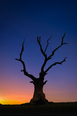 Silhouette dead big tree on hill at sunset.