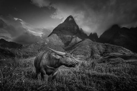 Black and white image of Buffalo on rice fields on terraced with Mount Fansipan background at sunset in Lao Cai, Northern Vietnam.